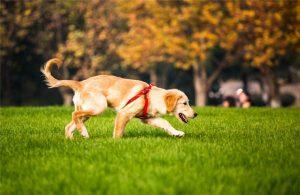 买金毛价格|图片|鉴别|注意事项(幼犬信息常更新)-合肥宠物网