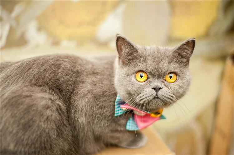 合肥买猫群-合肥宠物网