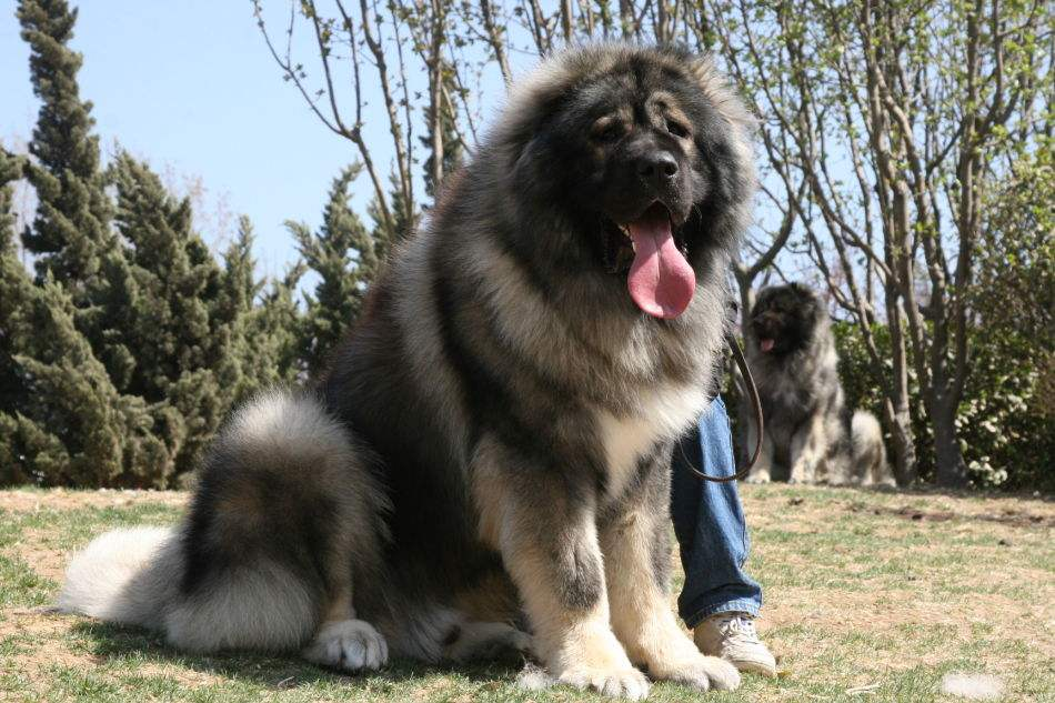 好残忍!合肥禁养犬名单(39种犬超全带图版)