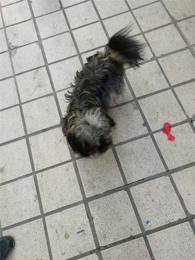 [蜀山区]1岁泰迪犬免费领养-合肥宠物网