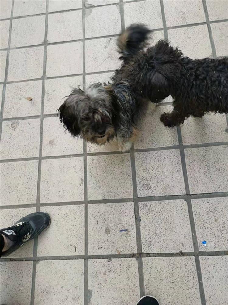 [蜀山区]1岁泰迪犬免费领养